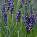 Fleur de Lavande by GUGGIA - Gordes 84220 Vaucluse Provence France