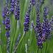 Fleur de Lavande par GUGGIA - Gordes 84220 Vaucluse Provence France