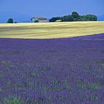 Provence : lavande & blé par GUGGIA -   provence Provence France