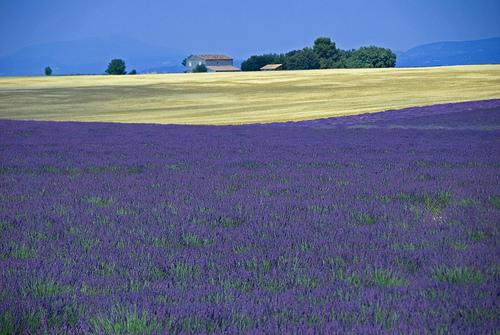 Provence : lavande & blé par GUGGIA