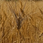 Wheat by dimitryslavin -   provence Provence France
