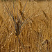 Wheat by dimitryslavin - Orange 84100 provence Provence France