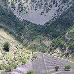 Lavande - Barret-de-Lioure - Drôme Provençale par  - Barret-de-Lioure 26570 Drôme Provence France