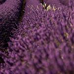 Tuyaux Violets de lavandes by shiningarden -   provence Provence France