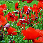 Red Poppies par J@nine -   provence Provence France