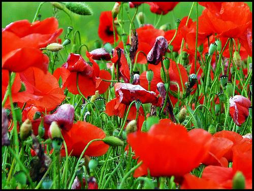 Red Poppies par J@nine