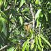 Amandier fin juillet by myvalleylil1 - Bormes les Mimosas 83230 Var Provence France