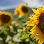 Tournesols by ArnauD-J -   provence Provence France