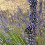 Lavande et abeille par k.deperrois -   Drôme Provence France