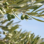 Les olives du Midi by Idealist'2010 -   provence Provence France