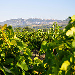 Les Dentelles et la vigne en fin d't par  - Sguret  Vaucluse Provence France