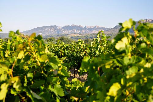 Les Dentelles et la vigne en fin d'été by Laurent2Couesbouc