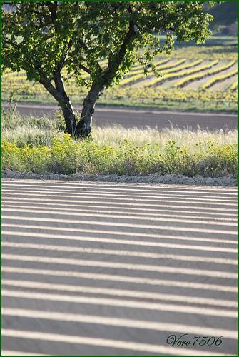 Champs + cerisier + vigne = Géométries by Vero7506