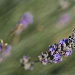 Brin de lavande by  -   Vaucluse Provence France