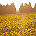 Champs de Tournesols by Asymkov -   Vaucluse Provence France