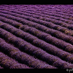 Champs de Lavande - vagues violettes by Fototerra.cat -   provence Provence France