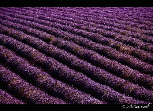 Champs de Lavande - vagues violettes by Fototerra.cat
