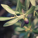 Le temps des olives - Olivier by bcommeberenice -   provence Provence France
