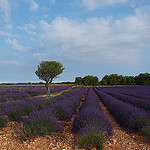 Champ de lavandes et son amandier by Locations Moustiers - Valensole 04210 Alpes-de-Haute-Provence Provence France