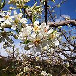 Cerisier en fleur by Cpt_Love - Bonnieux 84480 Vaucluse Provence France