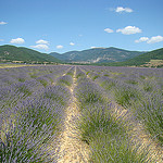 Lavender in La Haute Provence by  - Simiane la Rotonde 04150 Alpes-de-Haute-Provence Provence France