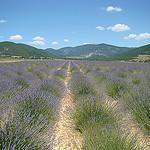 Lavender in La Haute Provence by UniqueProvence - Simiane la Rotonde 04150 Alpes-de-Haute-Provence Provence France