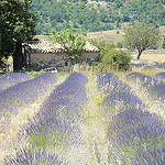 Lavender field in La Haute Provence by  - Banon 04150 Alpes-de-Haute-Provence Provence France