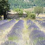 Lavender field in La Haute Provence par  - Banon 04150 Alpes-de-Haute-Provence Provence France