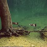 Fontaine de Vaucluse, canards et racines by Zakolin - Fontaine de Vaucluse 84800 Vaucluse Provence France