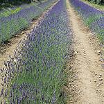 4 rangées de lavandes par Jen.Cz - Gordes 84220 Vaucluse Provence France