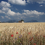 Champs de blé sur le Plateau de Valensole par Christopher Swan - Valensole 04210 Alpes-de-Haute-Provence Provence France