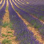 Sault et les lavandes par michelg1974 - Sault 84390 Vaucluse Provence France