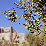 Olives sur fond des Baux de Provence par Zakolin - Les Baux de Provence 13520 Bouches-du-Rhône Provence France