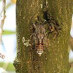 Cigale bien cachée par hunvreadenn - Cucuron 84160 Vaucluse Provence France