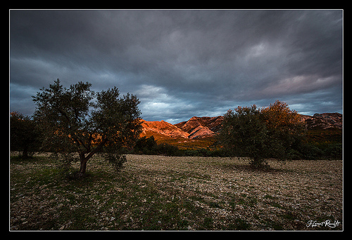 Oliviers des Alpilles by NeoNature