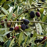 Olives frippées par CTfoto2013 - Nyons 26110 Drôme Provence France