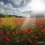 Poppy's revelation par  - Gassin 83580 Var Provence France