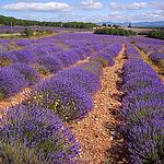 Champ de lavandes by denismartin - Valensole 04210 Alpes-de-Haute-Provence Provence France