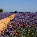 Un intrus dans la lavande par Guarda Nuvole - Valensole 04210 Alpes-de-Haute-Provence Provence France