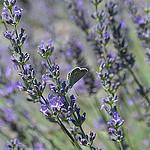 Le papillon provençal amateur de lavande par Amélia A. Photographies - Mane 04300 Alpes-de-Haute-Provence Provence France
