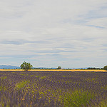 Paysage de lavandes par Dri.Castro - St. Laurent du Verdon 04500 Alpes-de-Haute-Provence Provence France