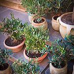 Mini Olive trees, Souvenir from Provence by Ann McLeod Images - L'Isle sur la Sorgue 84800 Vaucluse Provence France
